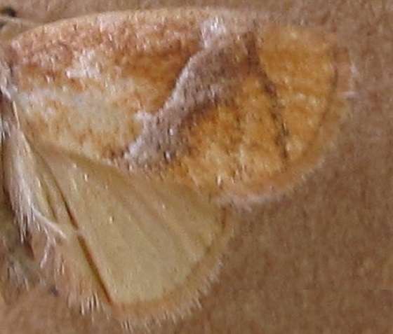 Lithacodes gracea