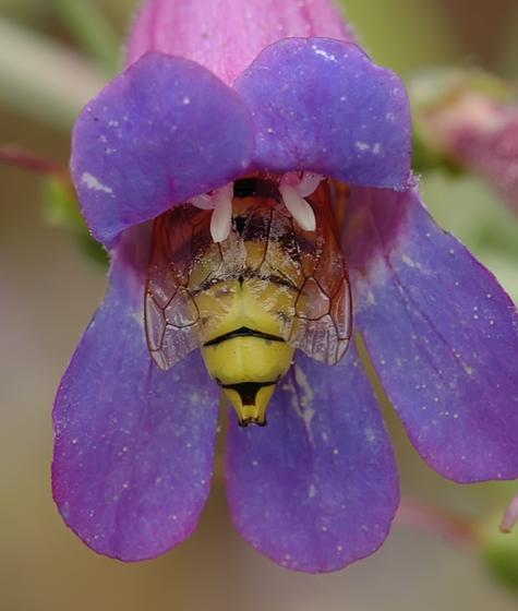 Pseudomasaris vespoides - male