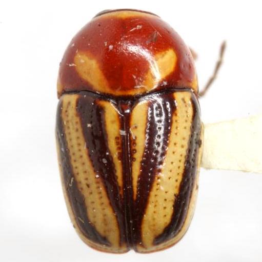 Cryptocephalus bispinus Suffrian - Cryptocephalus bispinus - male