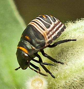 bugs on woolly croton