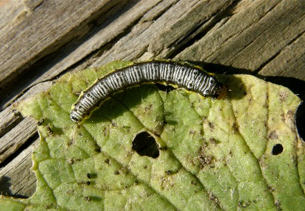 Caterpillar on radish - Evergestis rimosalis