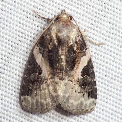 Pink-barred Pseudeustrotia Moth - Hodges #9053 - Pseudeustrotia carneola