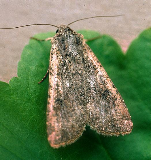 Pearly Underwing or Variegated Cutworm Moth - Peridroma saucia - female