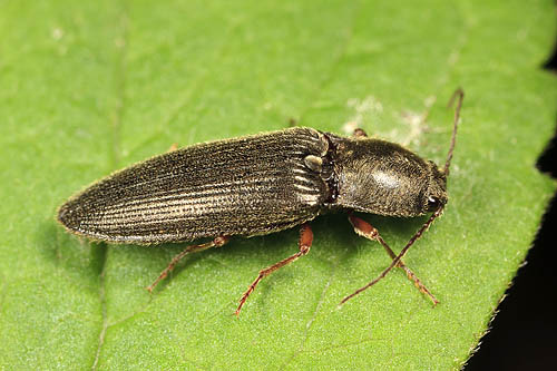 Click beetle of some sort - Hemicrepidius hemipodus