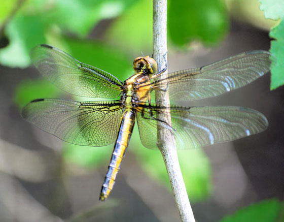 Dragonfly 1 - female - 5-21-09 - Libellula luctuosa - female
