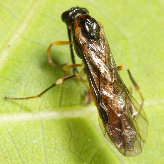 Spider food - Thrinax dubitata - female