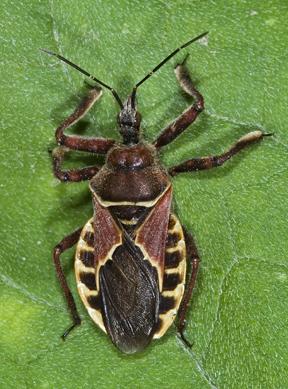 7065944 Apiomeris spinipes? or flaviventris or ? - Apiomerus spissipes