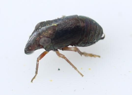 bug - Bruchomorpha oculata