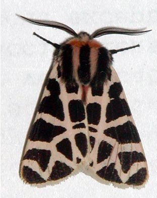 Tiger Moth (Wings closed) Grammia incorrupta