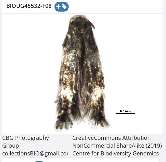 Stigmella rhamnus  (tentative) - Stigmella