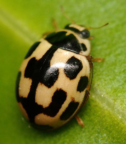 fourteen-spotted lady beetle - Propylea quatuordecimpunctata - male