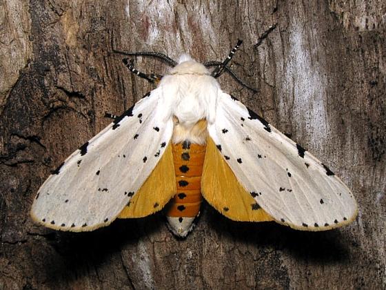 Salt Marsh Moth - Hodges #8131 - Estigmene acrea - male