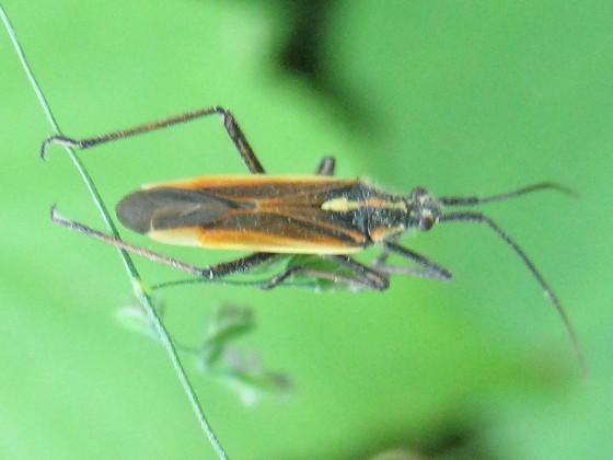 plant bug - Leptopterna dolabrata