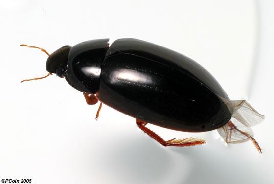 Water Scavenger Beetle - Hydrochara soror