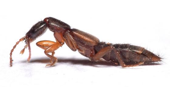 Paederini ? - Achenomorphus corticinus