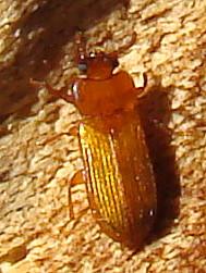 Orange lacquer beetle - Adelina pallida