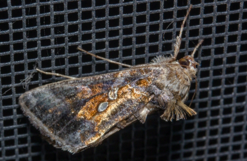 unknown owlet moth - Autographa precationis
