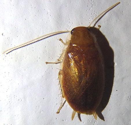 Florida roach - Plectoptera poeyi