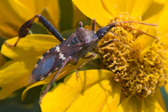 Leaf Footed bug - Leptoglossus clypealis