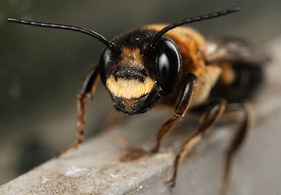 giant resin bee - Megachile sculpturalis - male