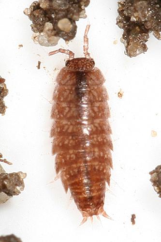 Woodlice - Trichoniscus