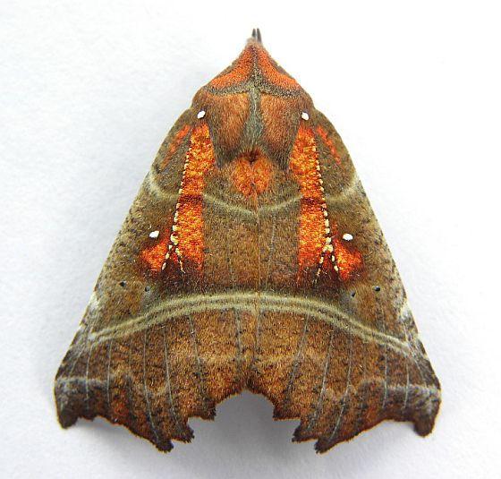 Pennsylvania Moth - Scoliopteryx libatrix