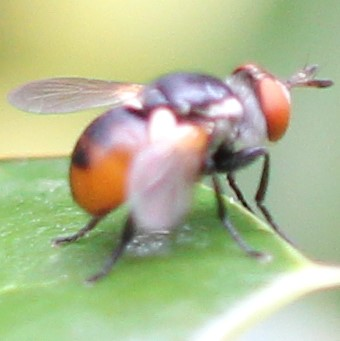 Orangeish Fly - Lateral
