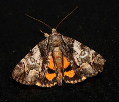 Texarkana Underwing? - Catocala pretiosa