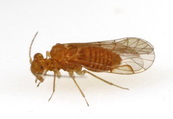 Lachsilla major Chapman - Lachesilla major - male