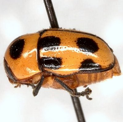 Cryptocephalus downiei E. Riley & Gilbert  - Cryptocephalus downiei