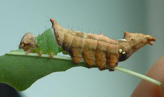 Schizura unicornis - Hodges #8007? caterpillar - Schizura unicornis