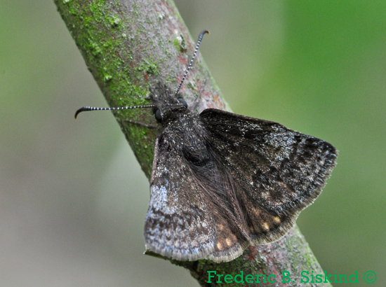 Unknown skipper (DBU561) - Erynnis icelus - male