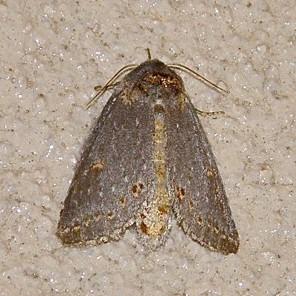 Brown Moth - Theroa zethus