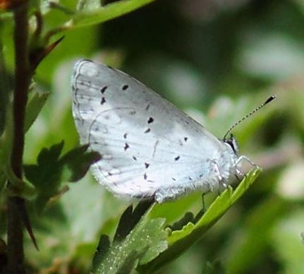 butterfly - Celastrina echo