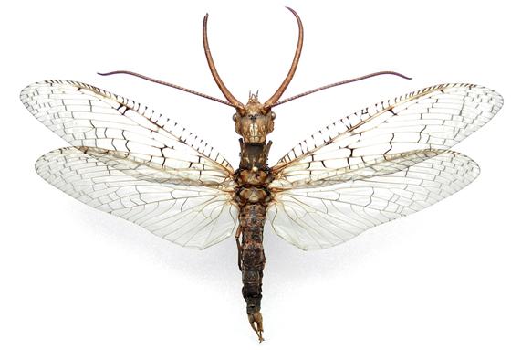 Corydalus cornutus (Linnaeus) - Corydalus cornutus - male