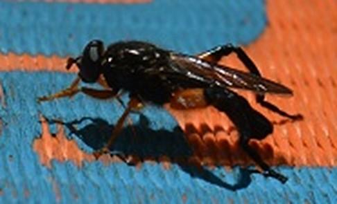 Chalcosyrphus? on a slackline  - Chalcosyrphus curvarius