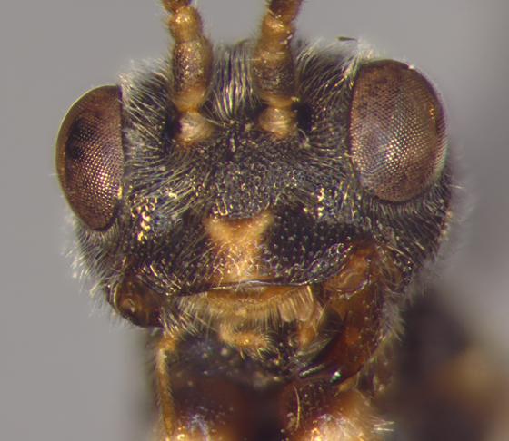 Roproniidae, #3, head - Ropronia garmani