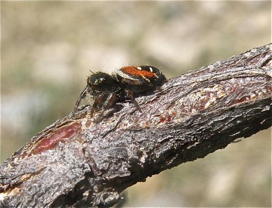 Black and Red Spider - Phidippus carneus