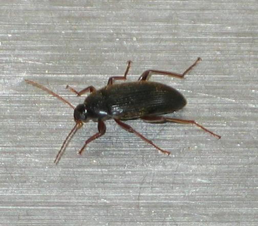 Darkling Beetle - Lobopoda