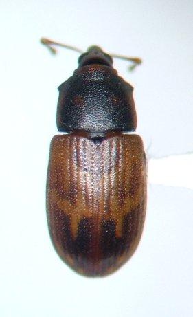 Notolomus bicolor - male