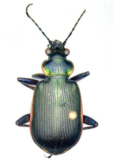 Calosoma wilcoxi - male