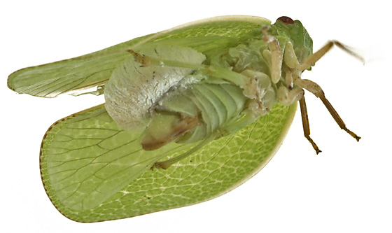 Planthopper w/what? - Fulgoraecia exigua