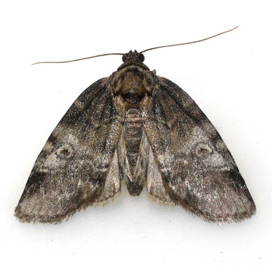 moth - Baileya levitans
