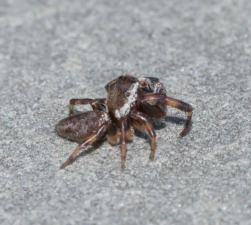 spider - Eris militaris
