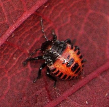 Brown Marmorated Stink Bug Nymph 1st instar - Halyomorpha halys