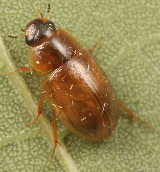 water scavenger beetle - Enochrus hamiltoni