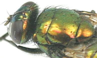 Lucilia -? - Neomyia cornicina - female