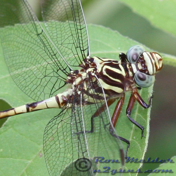 Broad-striped Forceptail - Aphylla angustifolia - male