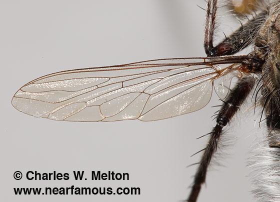 Efferia sp. - Efferia triton - male