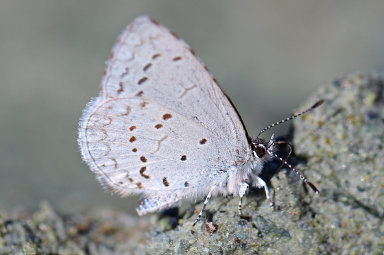 Blue Butterfly - Marin County - Celastrina echo